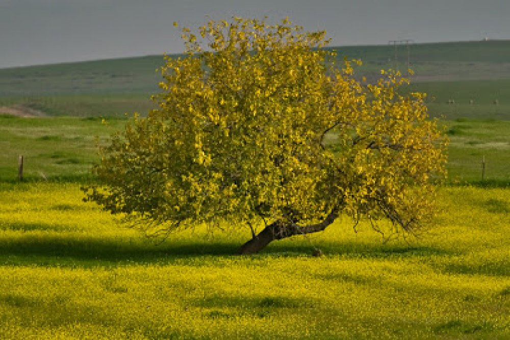 Mustard-Trees-Pictures-31